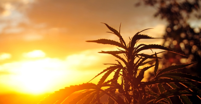 Cannabis Pflanze im Sonnenuntergang